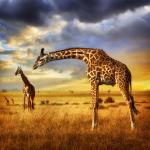 Girafes prisent au Kenya
