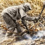 Les coupeurs de cannes à sucre. Malawi.