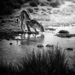 Guépard, animaux sauvages en Namibie. Guépard Etosha réserve Namibie / Chita Etosha park Namibia. Wild animals Namibia.
