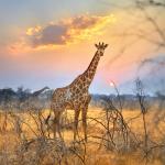 Girafe Etosha réserve, Namibie. Giraffe Etosha park Namibia.