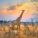 Girafe, Etosha Parc, Namibie.