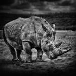 Les rhinocéros sont des mammifères herbivores. Toutes les espèces de rhinocéros sont considérées comme menacées de disparition