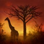 Animaux sauvages, giraffe Tanzanie. Wild animals, giraffe Tanzania. Publication Couverture National Geographic Espagne.