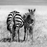 Zebres , Zebras. African Safari pictures. Safari photo.