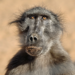 Baboon. Reportage photo en Zambie / Zambia . Animaux / animals Zambia ©Patrick Galibert