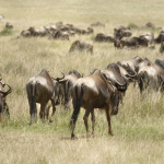 La réserve nationale du Masai Mara est une réserve nationale située au sud-ouest du Kenya. C'est le prolongement naturel du parc national du Serengeti situé en Tanzanie.
