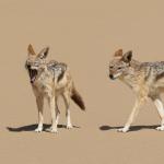 Chacal du désert, Namibie
