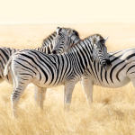 Zebras, Etosha National national Park Namibia. Zebres, Namibie.