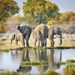 Elephants, Etosha Park,Namibia.