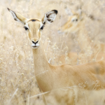 Impalas are medium-sized antelopes that roam the savanna and light woodlands of eastern and southern Africa.