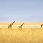 Girafes,Lac Mayara Tanzanie