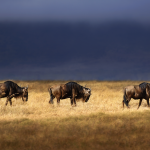The African buffalo is one of the most successful grazers in Africa