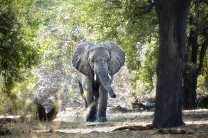 Le Parc national de Ruaha est situé au centre de la Tanzanie, on y dénombre plus de 8 000 éléphants...