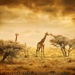 Giraffes Etosha National park. Namibia. Africatracks ©Patrick Galibert
