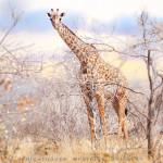 Giraffe Namibia - Girafe Namibie