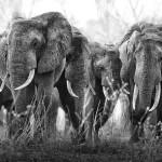 Troupeau d'éléphants en Tanzanie