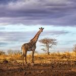 Girafes Parc national de Tsavo. Kenya.