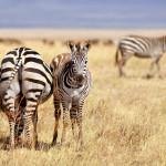 Photographie de zebres en Tanzanie.