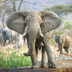 Elephant Ruaha National Park Tanzanie