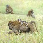 Famille de singe Tanzanie
