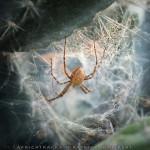 Spider, Botswana