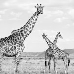 Girafes Massai Mara, Kenya