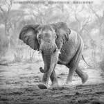 Young elephant, Tanzania