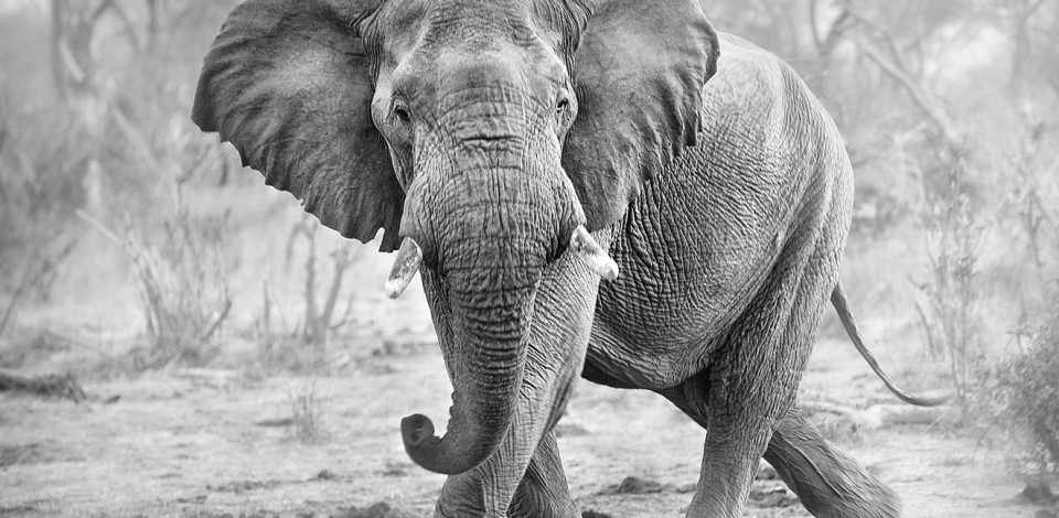 Le commerce de l 39 ivoire us bans ivory sale - Comment reconnaitre de l ivoire ...