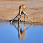 Namibie-1181-P.Galibert - Giraffe, girafe Etosha National Park .